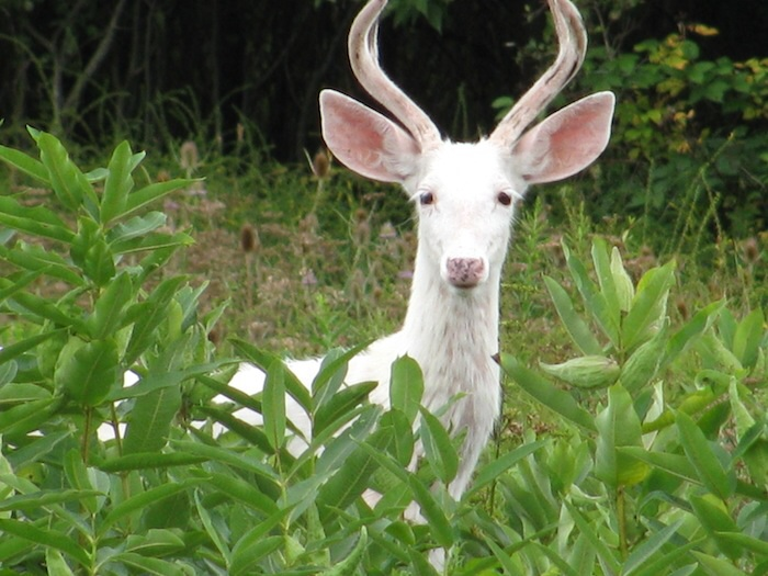 "Ah. Whence the source of the mythology of the unicorn. Everyone who encounters a ""white deer"" describes the experience as mystical. Haven't seen one myself. Hope to. Someday."