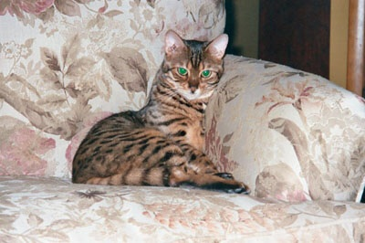 Our 9 year old Bengal Izzie.
