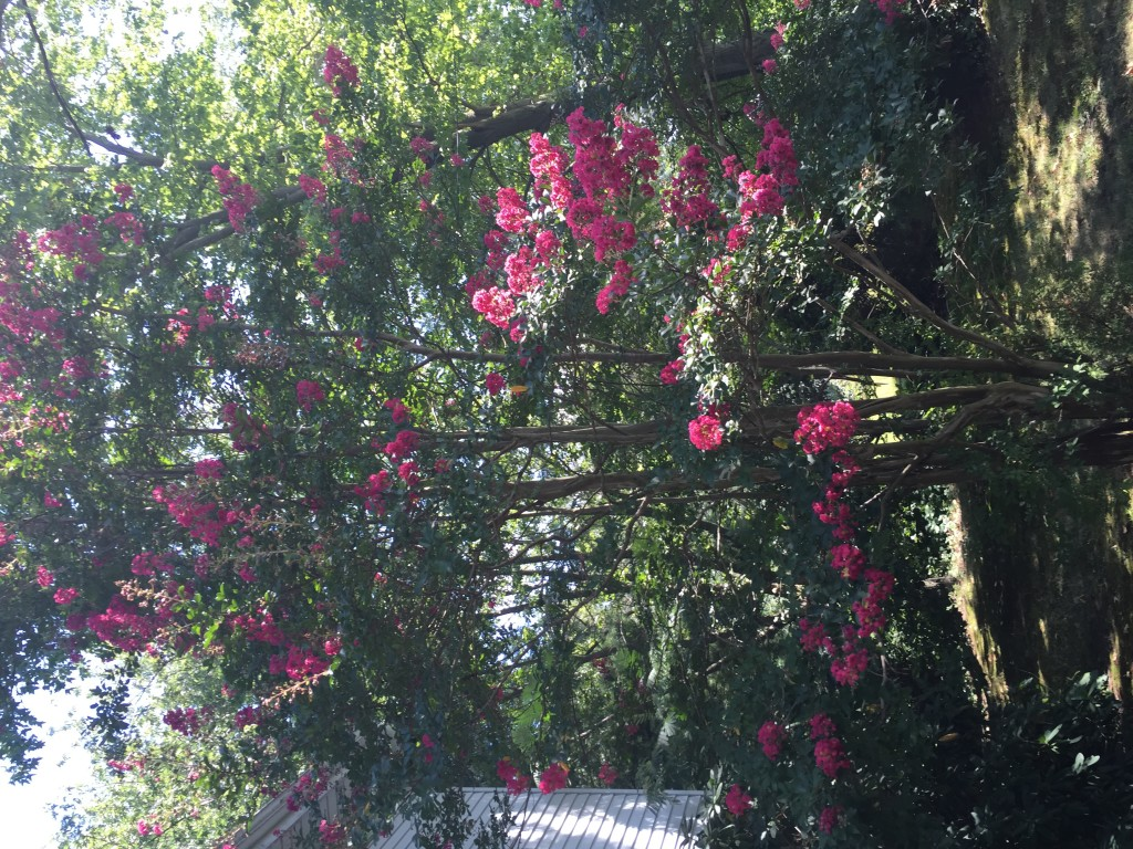 Crepe Myrtle in our front yard. Had one of these as a kid. Source of the quarter staffs I used to play Robin Hood as a kid. Now I like the blooms.